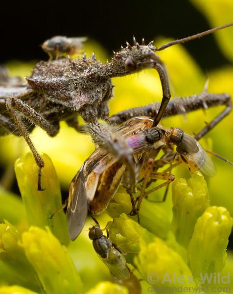 Frit flies (Chloropidae) gather around a Sinea assassin bug's kill to steal hemolymph.  East Brooklyn, Illinois, USA