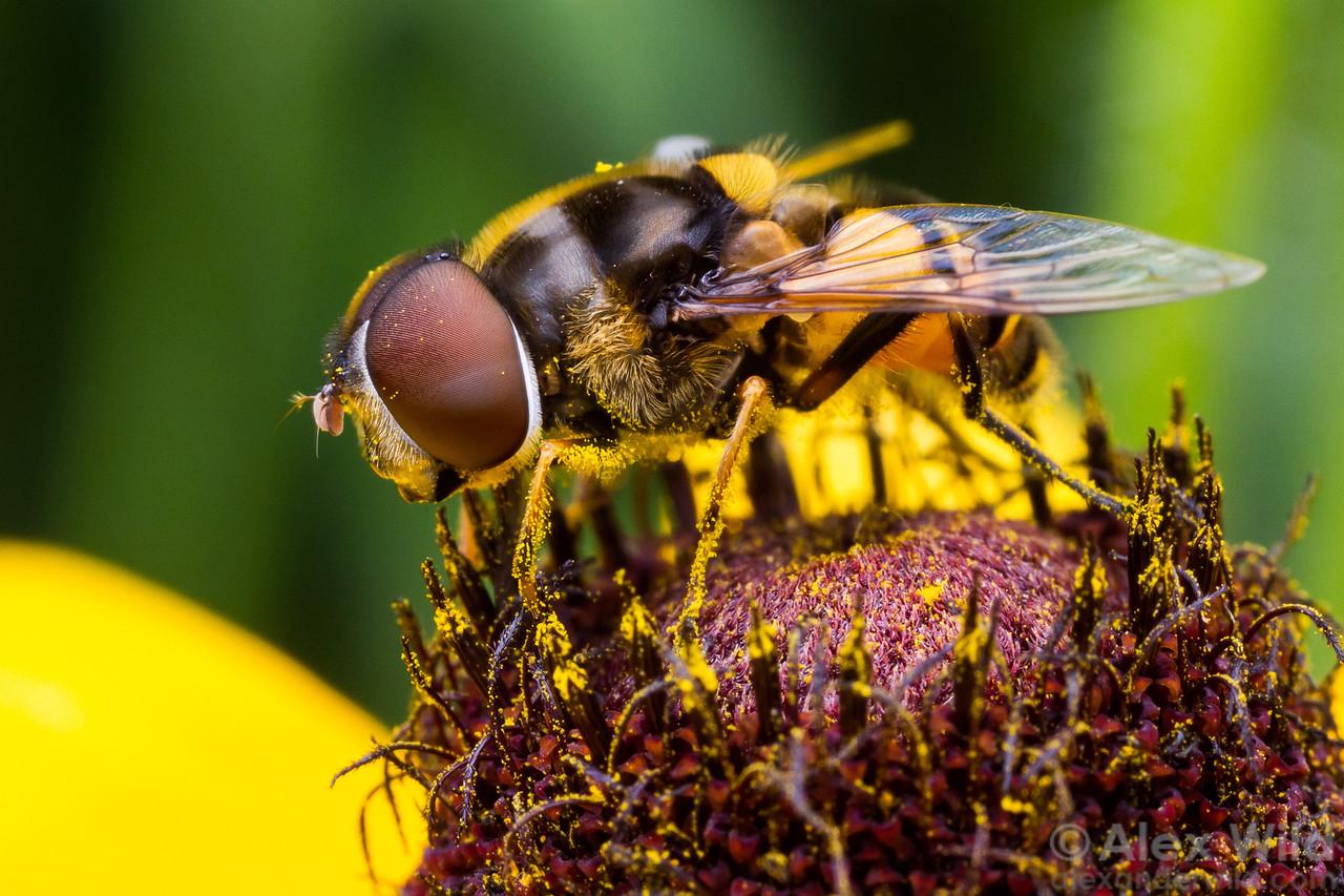 Eristalis transversa is among the most colorful North American hoverflies.  Urbana, Illinois, USA