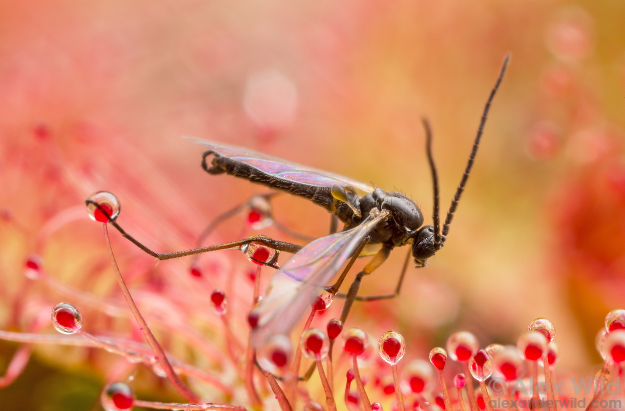 Fungus gnat on sundew