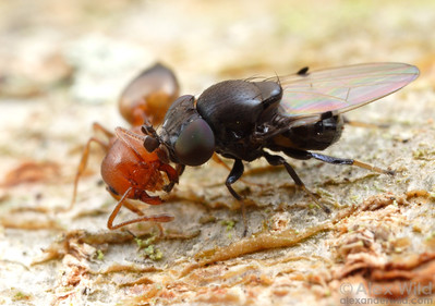 An ant-mugging fly (Milichia patrizii) forces a Crematogaster ant to give up her food stores.  South Africa.  filename: milichiid1