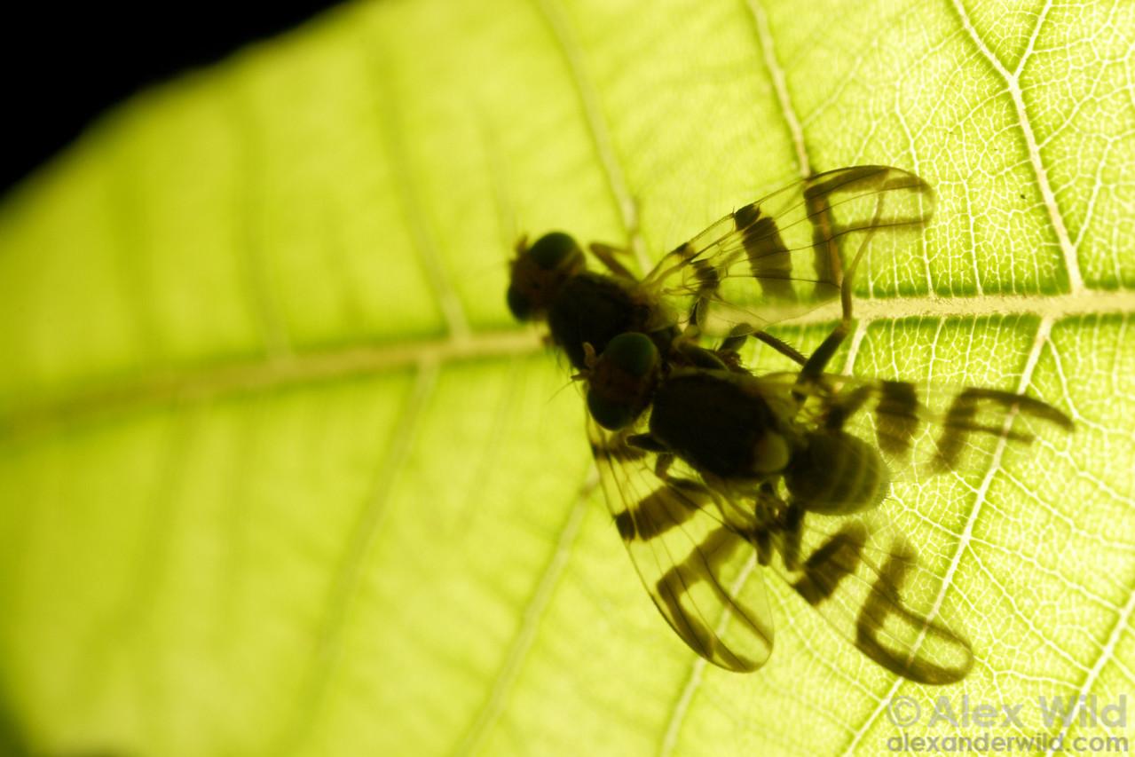 Rhagoletis walnut flies, mating.  Arizona, USA