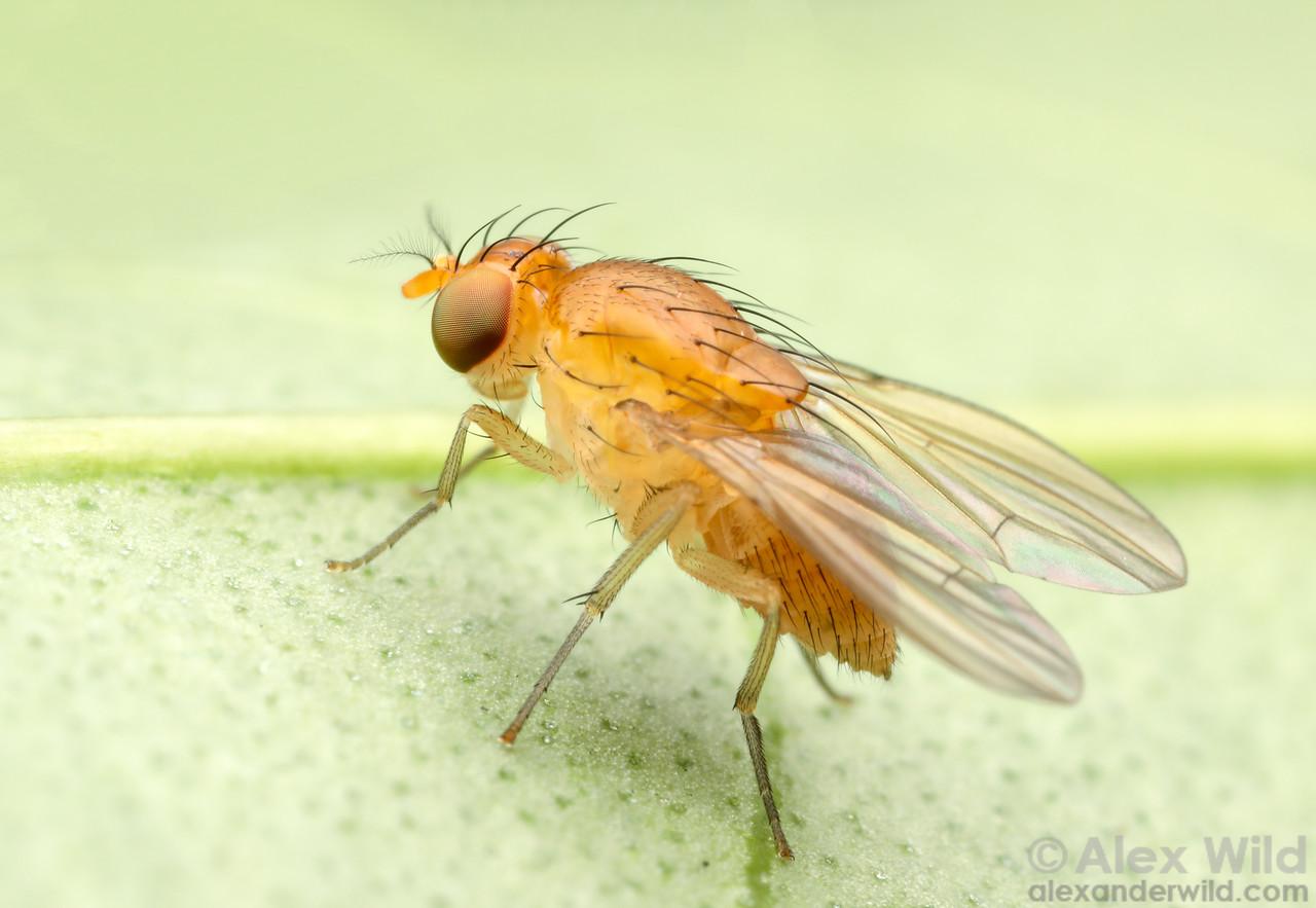 Neogriphoneura spp.