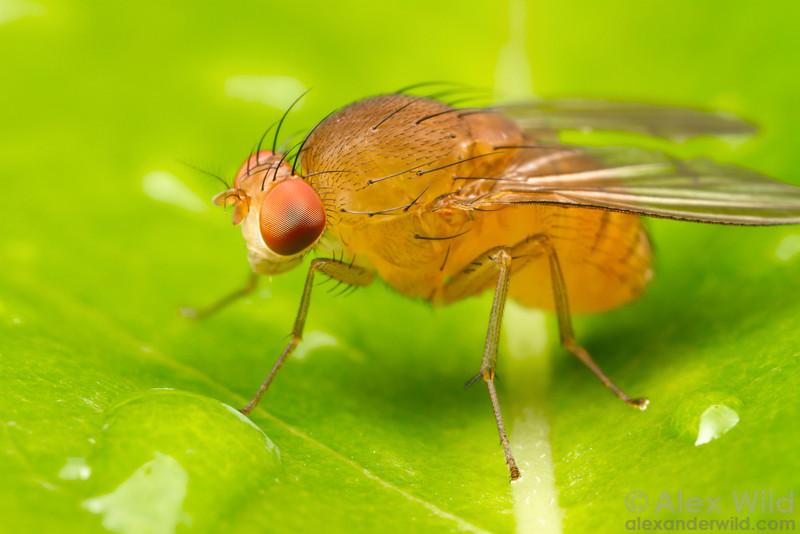 Homoneura (Homoneura) sp. (Lauxaniidae)
