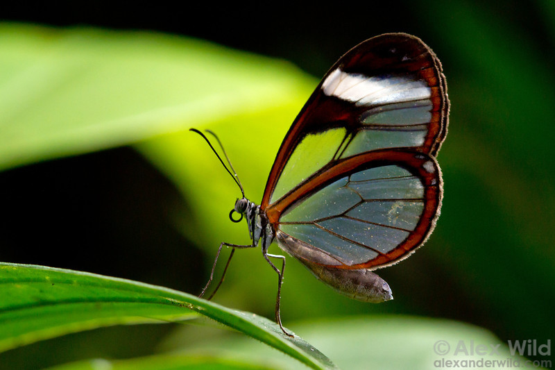 The lovely glasswinged butterfly Greta oto.  Green Hills Butterfly Ranch, Cayo District, Belize