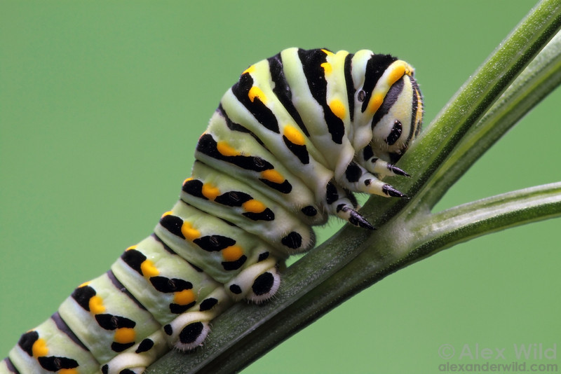 Papilio polyxenes - eastern black swallowtail - larva  Urbana, Illinois, USA