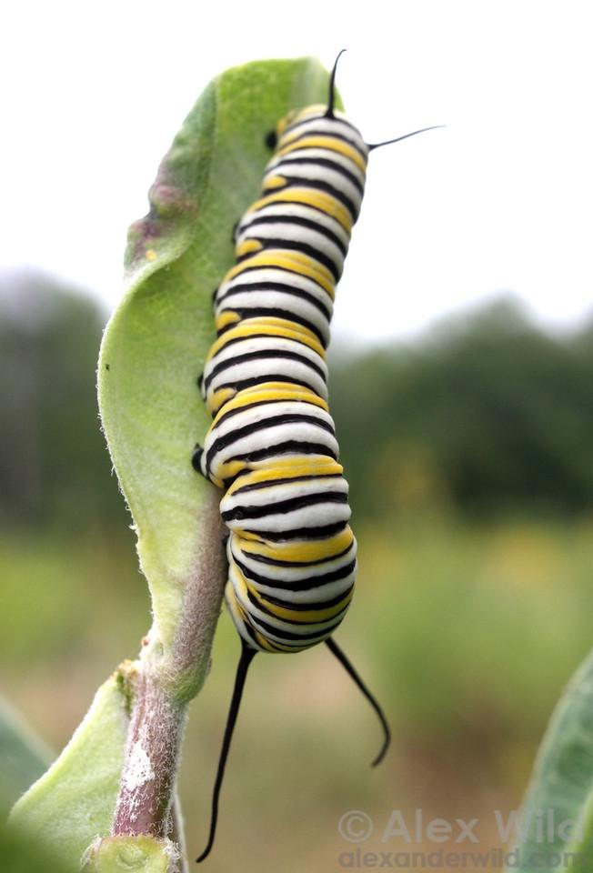 Danaus plexippus - monarch butterfly - larva on milkweed  Urbana, Illinois, USA