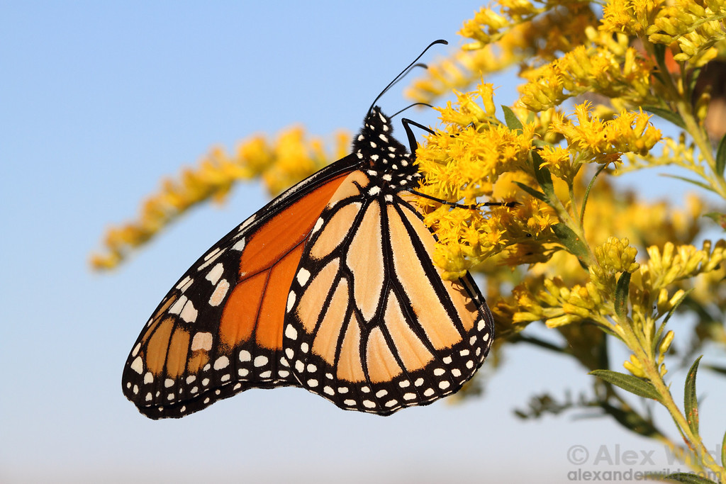 Danaus plexippus, Monarch butterfly  Clinton Lake, Illinois, USA