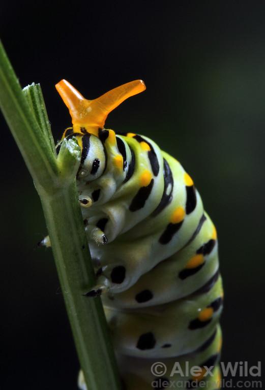 Papilio polyxenes - eastern black swallowtail - caterpillar with defensive osmeterium everted.  Urbana, Illinois, USA