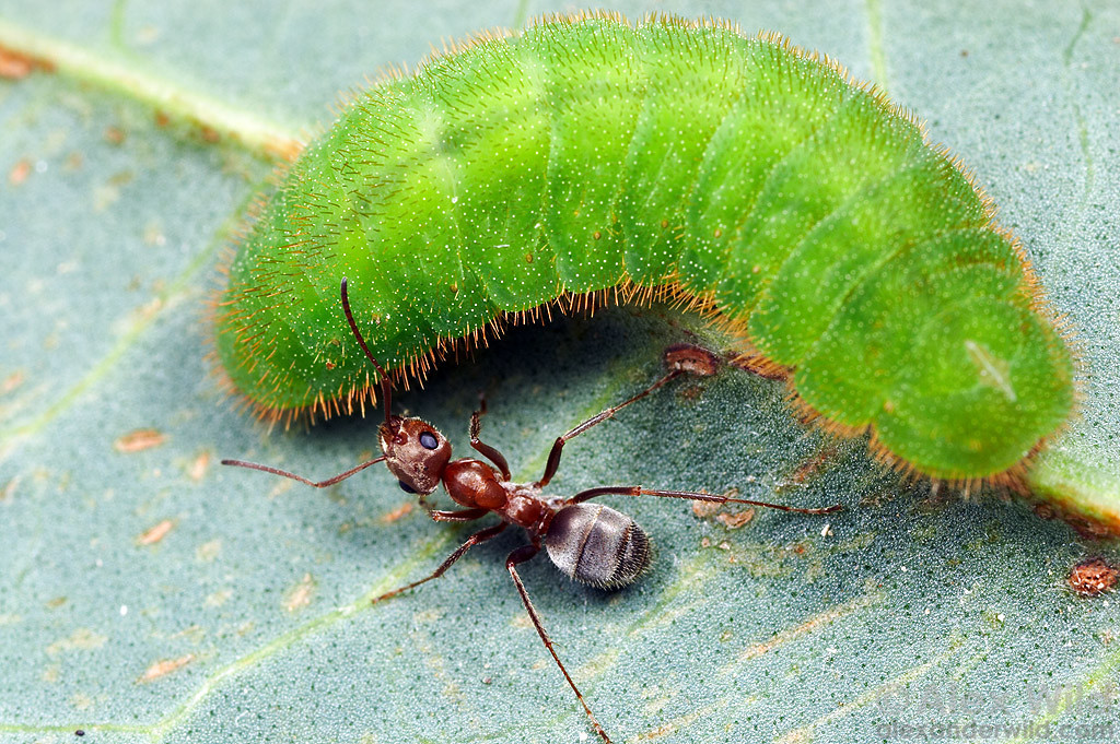 A Formica francoeuri field ant worker tending to the larva of a Great Copper butterfly (Lycaena xanthoides). The caterpillar produces secretions attractive to ants, and in turn the ants protect the caterpillar from predators and parasites.  San Diego Co., California, USA