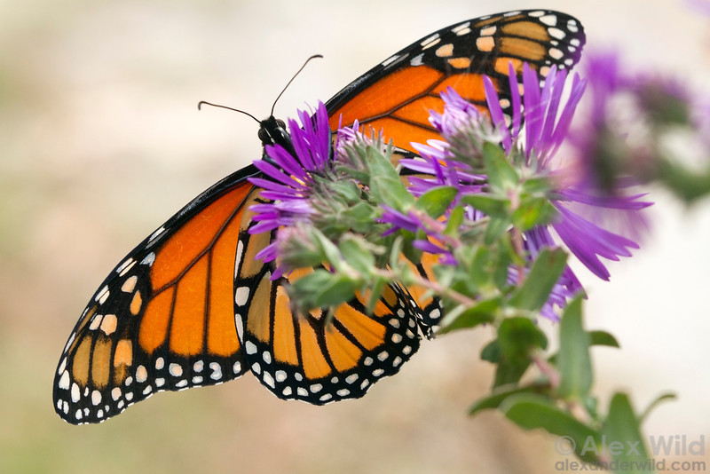 Danaus plexippus - monarch butterfly taking nectar from a fall-blooming aster.