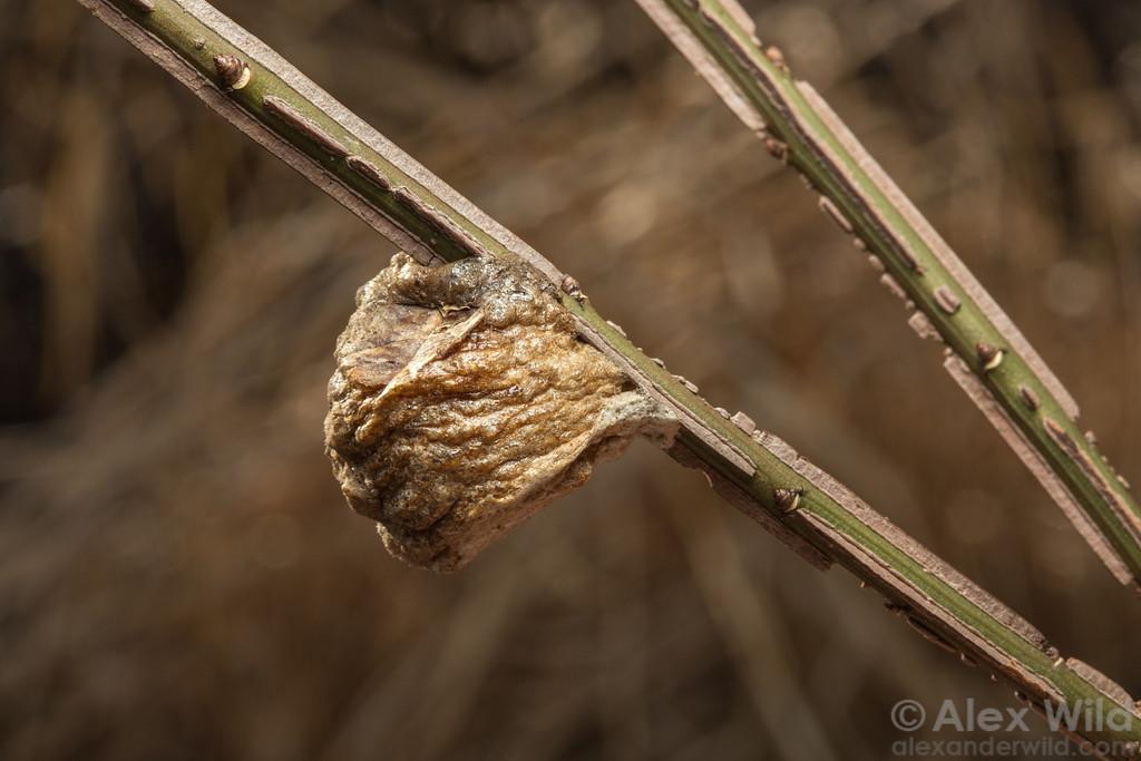 Tenodera sinensis egg case