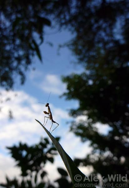 A newly hatched Stagmomantis carolina surveys the world.  Urbana, Illinois, USA