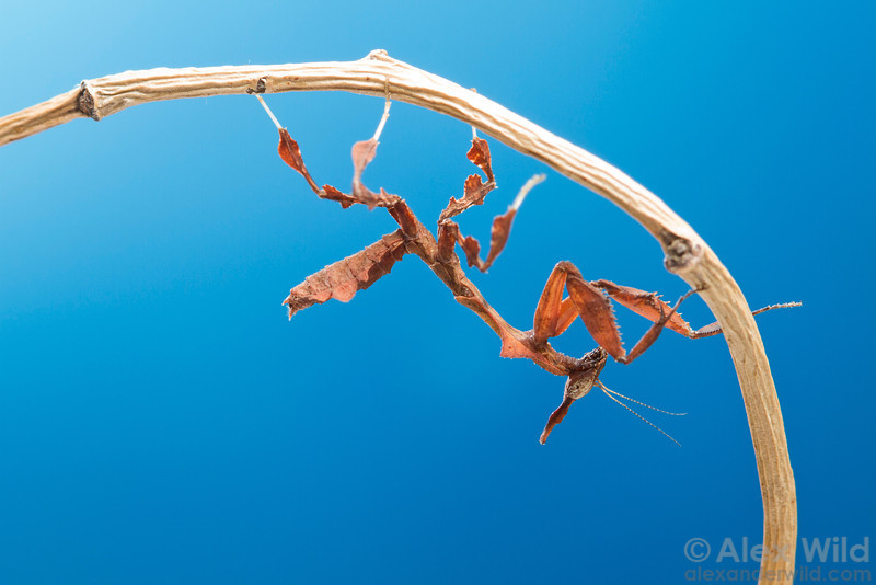 Phyllocrania paradoxa, the ghost mantis, is an African insect that has become common in the pet trade.