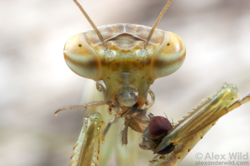 Mantises consume their prey alive. This chinese mantid Tenodera sinensis tore apart and ate this fruit fly in a matter of minutes.
