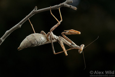 Preying mantises are meticulously clean insects. Here, a female carolina mantis, Stagmomantis carolina, grooms a hindleg.  Urbana, Illinois, USA