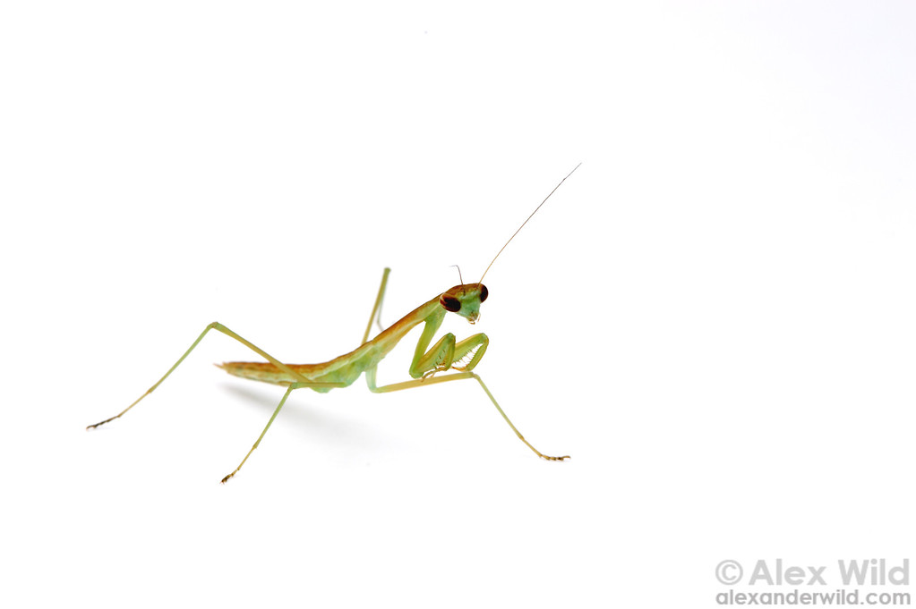 Portrait of a young chinese mantis, Tenodera sinensis.