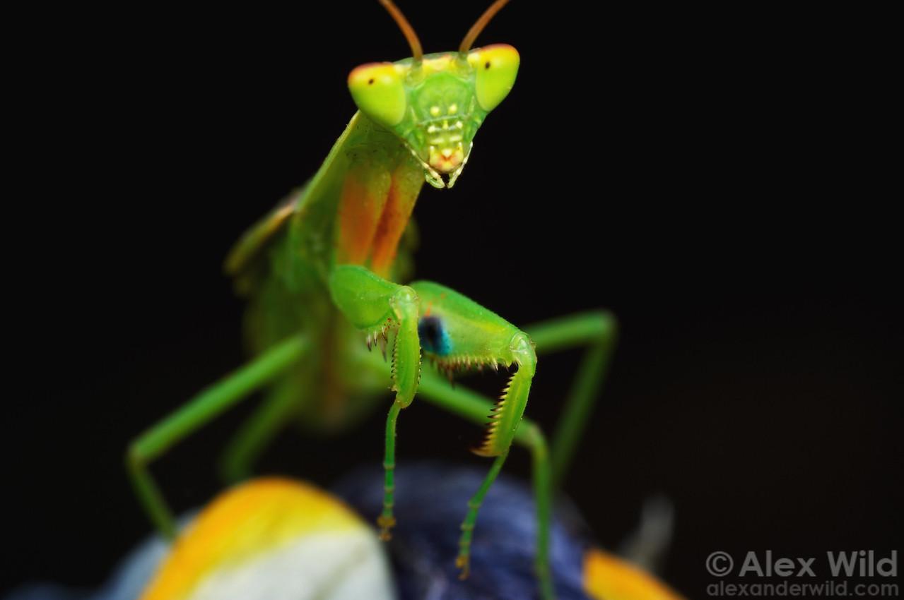 Orthodera ministralis - Australian Garden Mantis  Melbourne, Australia