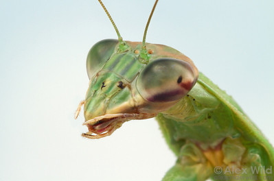 This Chinese mantis (Tenodera sinensis) shows scars on her face from healed wounds.  Urbana, Illinois, USA