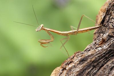 Tenodera sinensis - chinese mantis.
