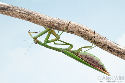 A  mature female Chinese mantis, Tenodera sinensis, grooming.  Urbana, Illinois, USA
