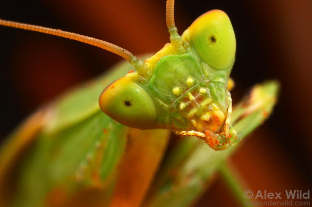 An Australian Garden Mantis Orthodera ministralis cleans pollen from her foot.  Melbourne, Australia