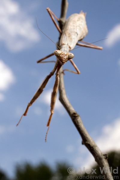 Stagmomantis carolina, the carolina mantis.