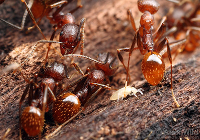 Ant nest collembola