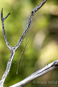 Parabacillus hesperus - Western Short-Horned Walking Stick  Nevada, USA