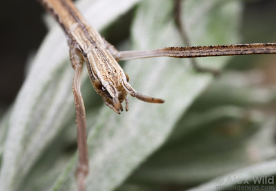 Parabacillus hesperus - Western Short-Horned Walking Stick.   Nevada, USA