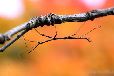 Diapheromera femorata - Northern Walking Stick, male perched on an oak branch.  Illinois, USA