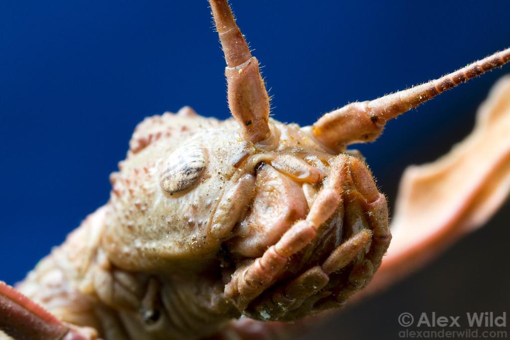Up close with a Brazilian stick insect.  Minas Gerais, Brazil