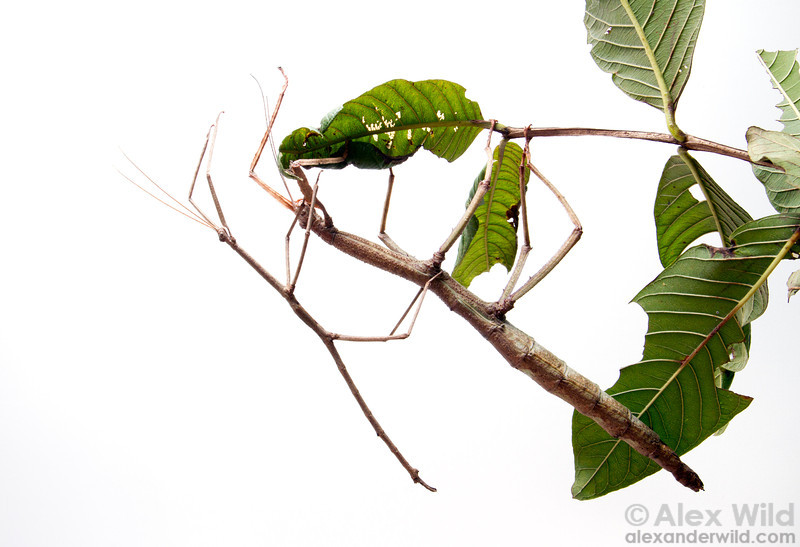 Male stick insects are often much smaller than their female counterparts.  Minas Gerais, Brazil