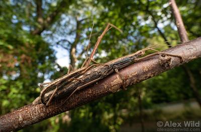 Anisomorpha ferruginea