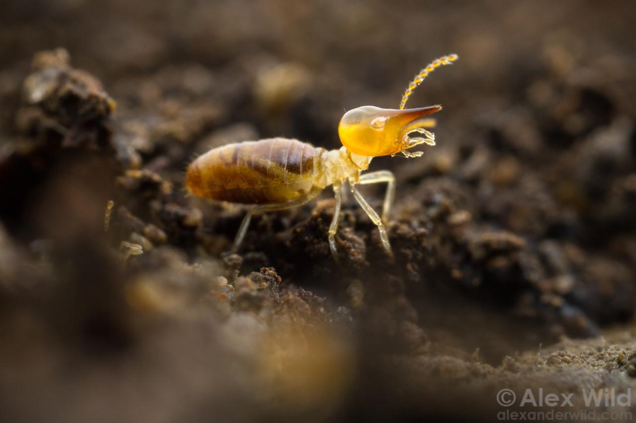Nasute termite soldier
