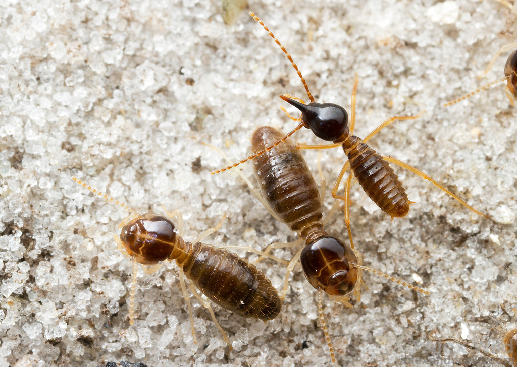 Termite Soldiers vs Ants Unlike Soldier Ants That Are