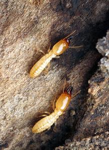 Soldier Reticulitermes termites.  Urbana, Illinois, USA