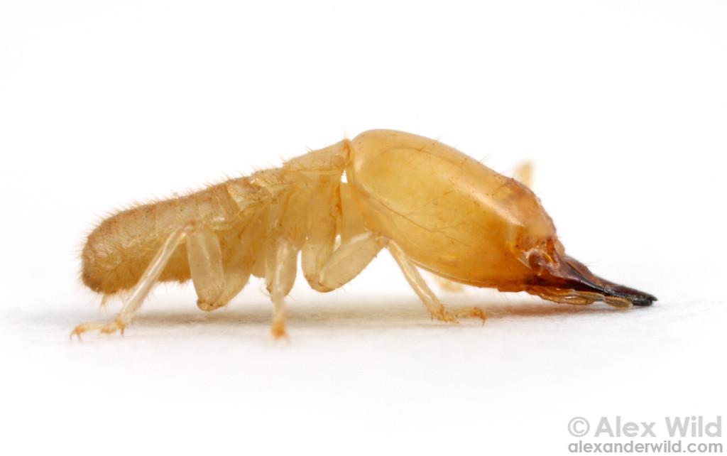 Termite Soldier Types Subterranean Termite Soldier