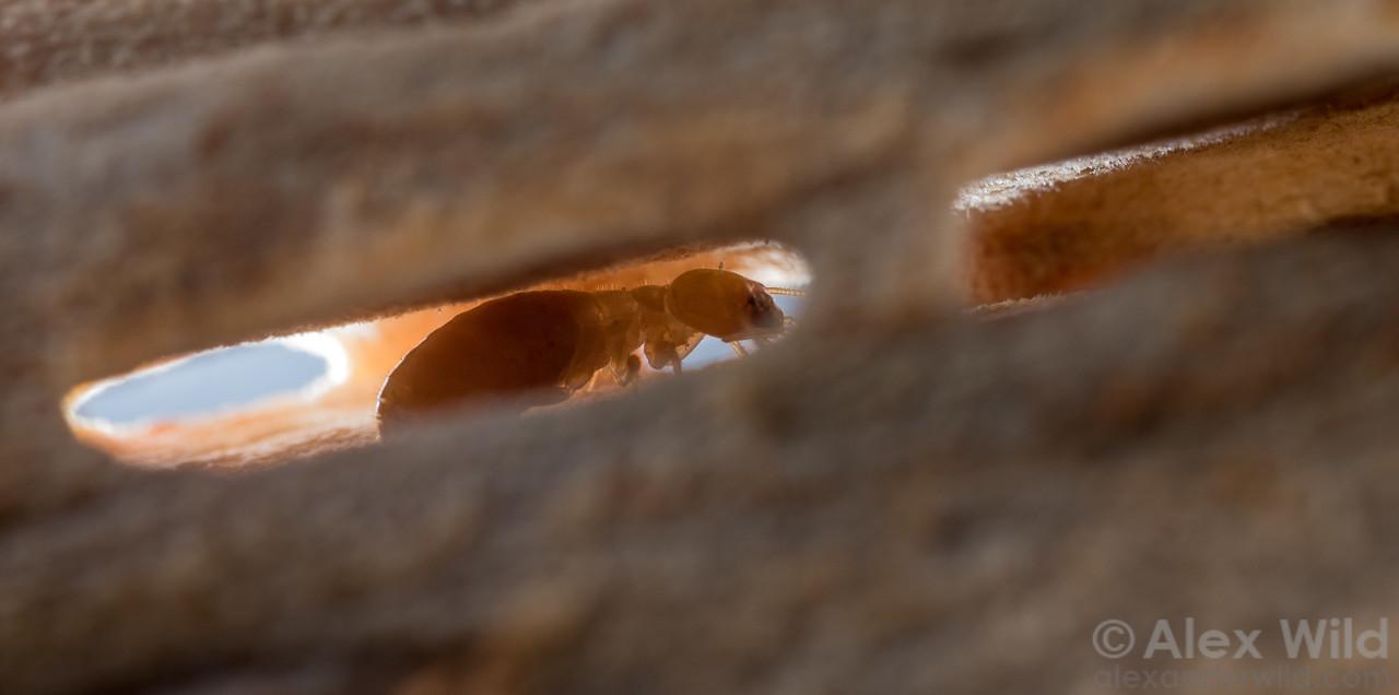 Zootermopsis nevadensis