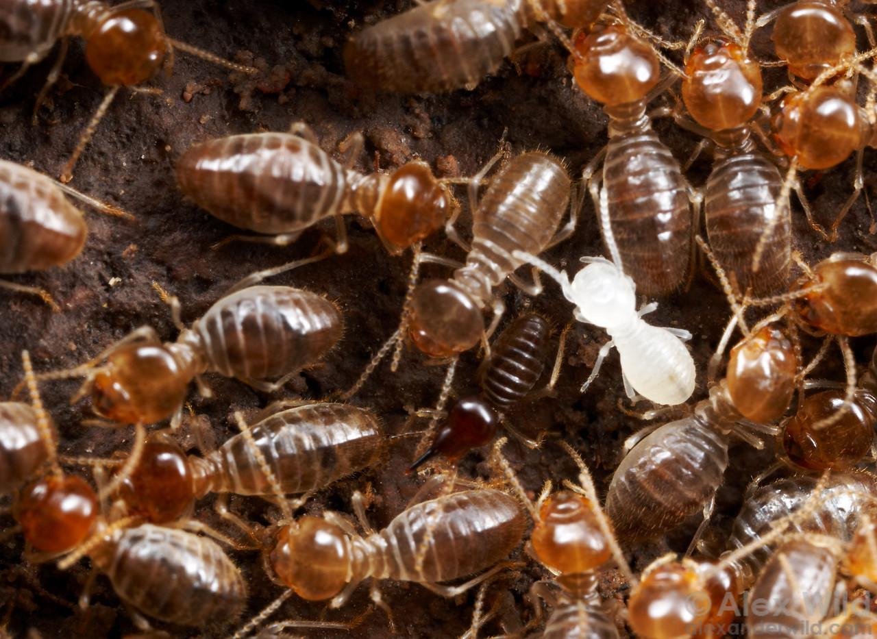 Freshly white after a molt, this worker Tenuirostritermes termite will darken over time.  Chiricahua Mountains, Arizona, USA