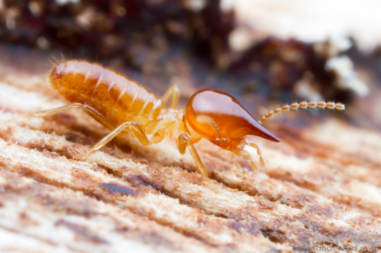 Nasute termites have an unusual defensive system. The nozzle-like heads of the soldiers can eject a sticky solution designed to entrap enemies- especially ants.