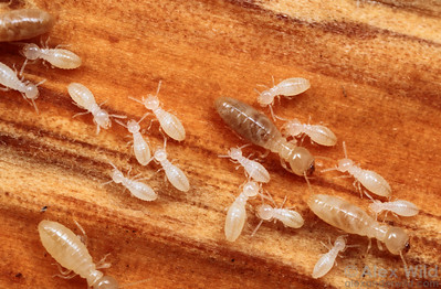 Reticulitermes subterranean termites, showing workers of various ages.  Lake Glendale, Illinois, USA