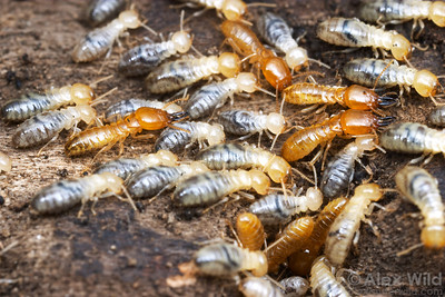 Prorhinotermes inopinatus (Rhinotermitidae), worker and soldier termites in a rotting log.  Cape Tribulation, Queensland, Australia