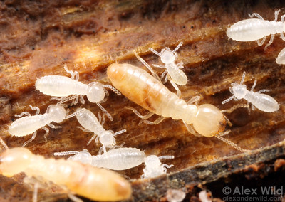 Subterranean termites in various stages of development.
