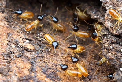 Nasute termite soldiers (Termitidae) rush forward to guard a breach in their nest.  These insects can squirt a noxious, sticky substance out of their snouts.  Cape York Peninsula, Queensland, Australia