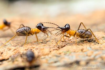 Nasute termite soldiers