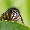 Vespula vulgaris, Common wasp, Almindelig gedehams, Rudersdal, Danmark, June 2014