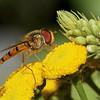 Marmalade hoverfly, Dobbeltbåndet blomsterflue, Episyrphus balteatus, Rudersdal, Danmark, Jul-2013