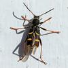 Wasp beetle, Lille hvepsebuk, Clytus arietis