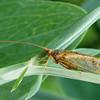 Trichoptera sp., Cadissfly sp., Vårflue sp., Rudersdal, Danmark, Aug-2014