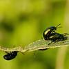 Dead-nettle leaf beetle, Tvetandbladbille, Chrysolina fastuosa, Rudersdal, Danmark, Jun-2013